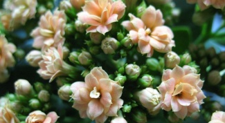 How to prune a Kalanchoe