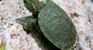 Как кормить домашнюю черепаху