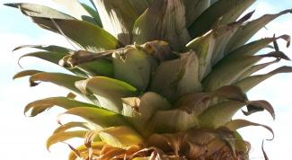 Как сажать ананас
