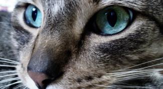 Как лечить лишаи кошкам