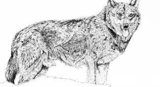 Как рисовать собаку карандашом