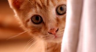 Как чистить кошкам уши