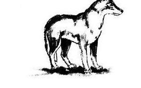 Как нарисовать волка карандашом