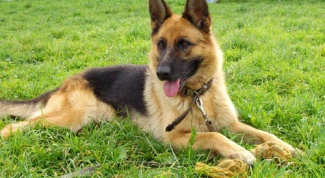 How to train a German shepherd
