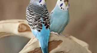 Как отличить волнистых попугаев