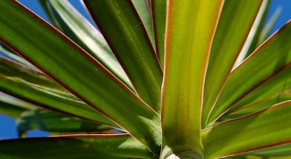 How to propagate a dracaena