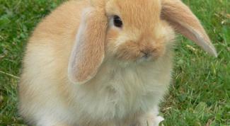 Как определить пол у кролика