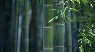 Как выращивать бамбук