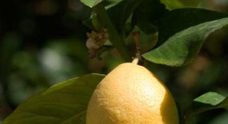 Как посадить лимон