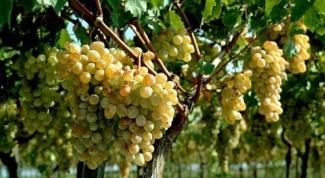 Как посадить виноград в 2018 году