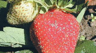 Как посадить клубнику