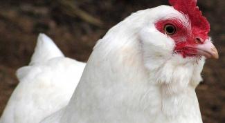 Как кормить кур
