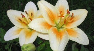 How to grow lilies