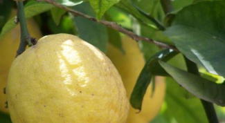 Как вырастить лимон в домашних условиях из косточки