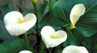 Как избавиться от цветочной мошки