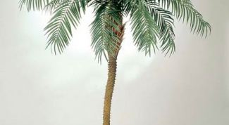 How to grow a date palm from seeds
