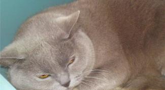 Как лечить ушного клеща у домашних животных