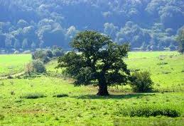Как вырастить дуб из жёлудя