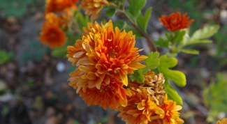 Как пересадить хризантемы
