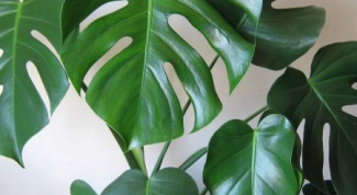 How to repot monstera