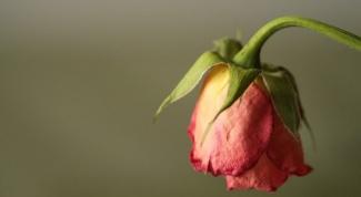Как оживить розу