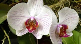 Как пересаживать орхидеи