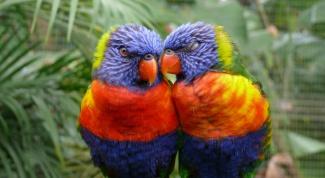 Как определить пол попугая