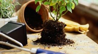 Как пересадить растение в 2017 году