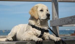 Как надевать шлейку на собаку