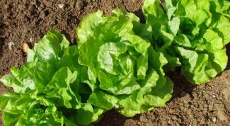Как выращивать салат