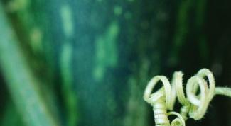 Как сажать арбузы