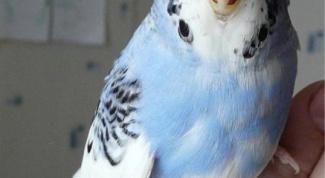 Как приучить волнистого попугая к рукам