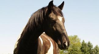 Как приучить лошадь