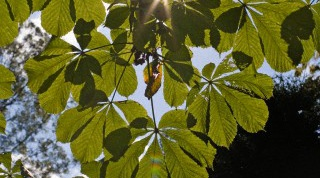 How to plant a chestnut