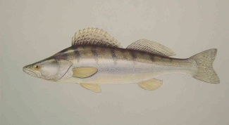 How to clean walleye