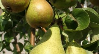 Как прививать грушу