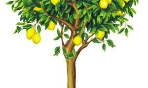Как вырастить лимонное дерево
