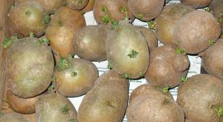 Как прорастить картошку