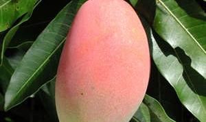 Как вырастить дома манго