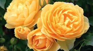 Как подрезать розы