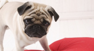 Как почистить собаке уши