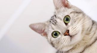Как почистить коту уши