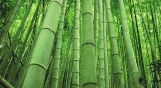размножать бамбук