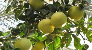Как выращивать грейпфруты