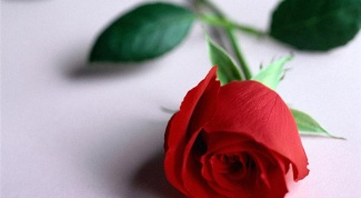 How to grow a rose from cut flower