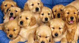 Как отличить щенка