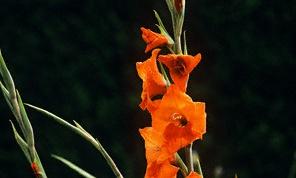 Как выращивать гладиолус