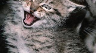 Как понимать кошачий язык