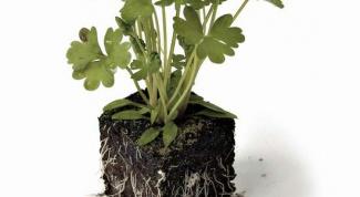 Как вырастить зелень на подоконнике