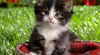 Как вывести блох у котёнка